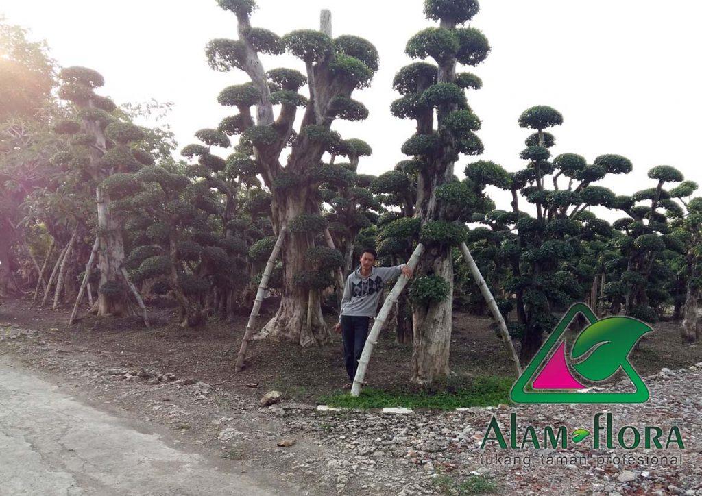 jasa-supplier-tanaman-hias-pelindung-dan-bonsai-1