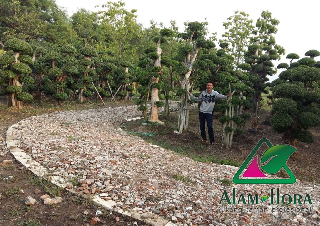 jasa-supplier-tanaman-hias-pelindung-dan-bonsai-10