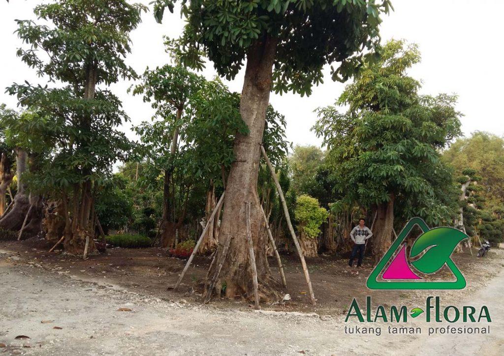 jasa-supplier-tanaman-hias-pelindung-dan-bonsai-3