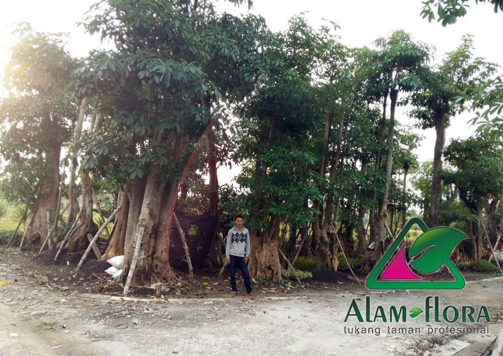 jasa-supplier-tanaman-hias-pelindung-dan-bonsai-4