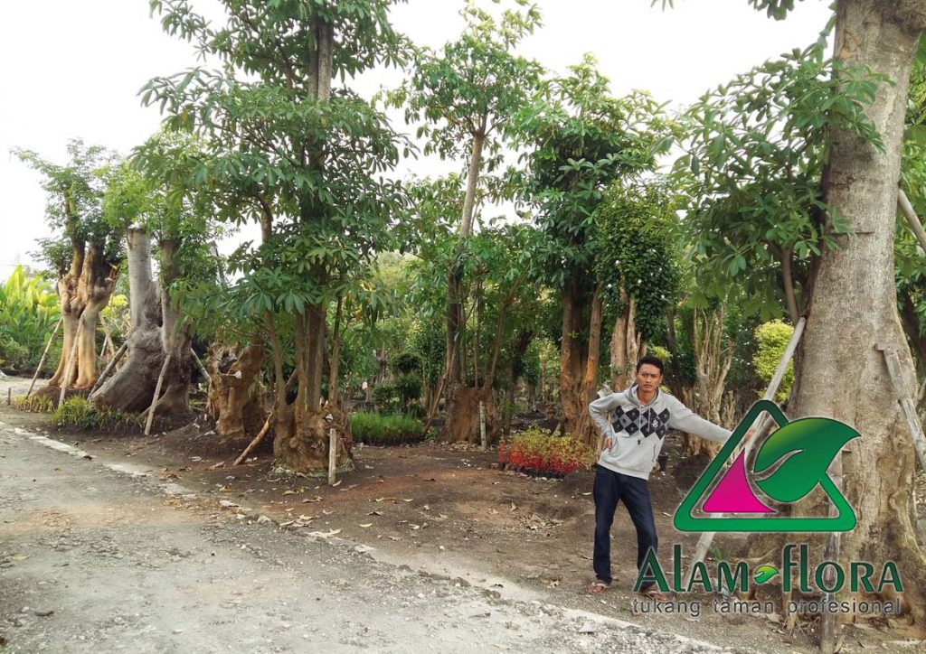 jasa-supplier-tanaman-hias-pelindung-dan-bonsai-5