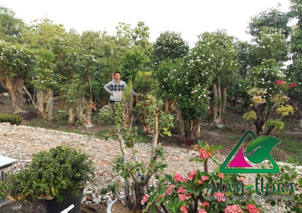 jasa-supplier-tanaman-hias-pelindung-dan-bonsai-9