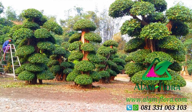 Pohon Dollar 3