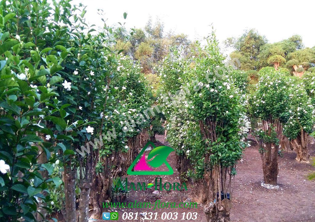 tanaman jasmin 5