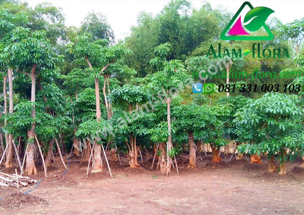 tanaman pule 3