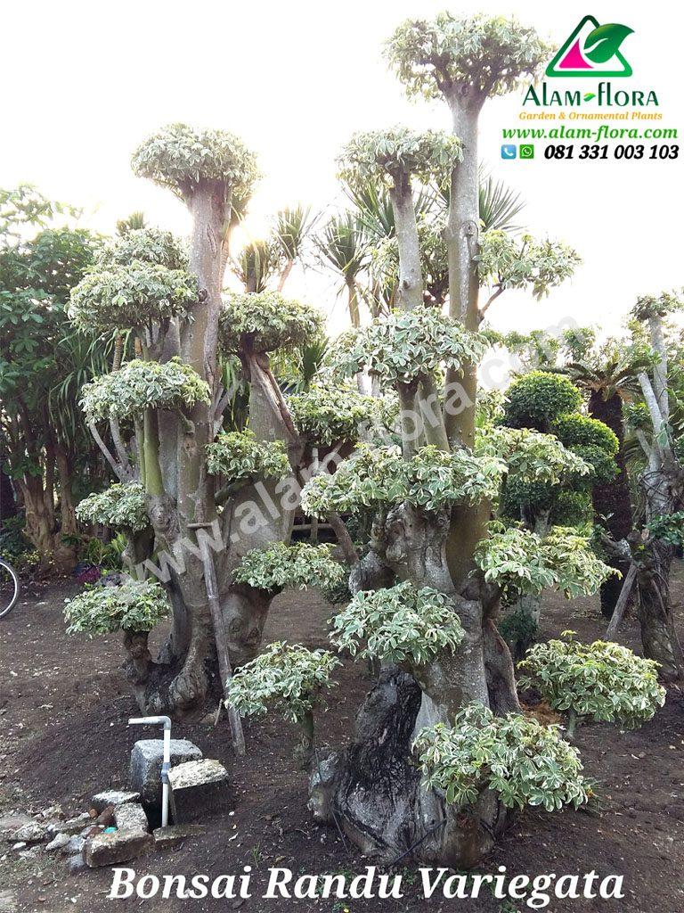 bonsai randu variegata 1