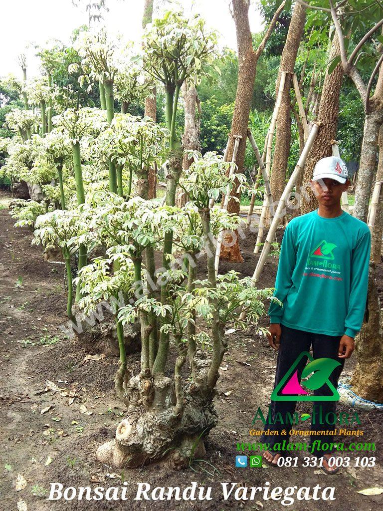 bonsai randu variegata 2