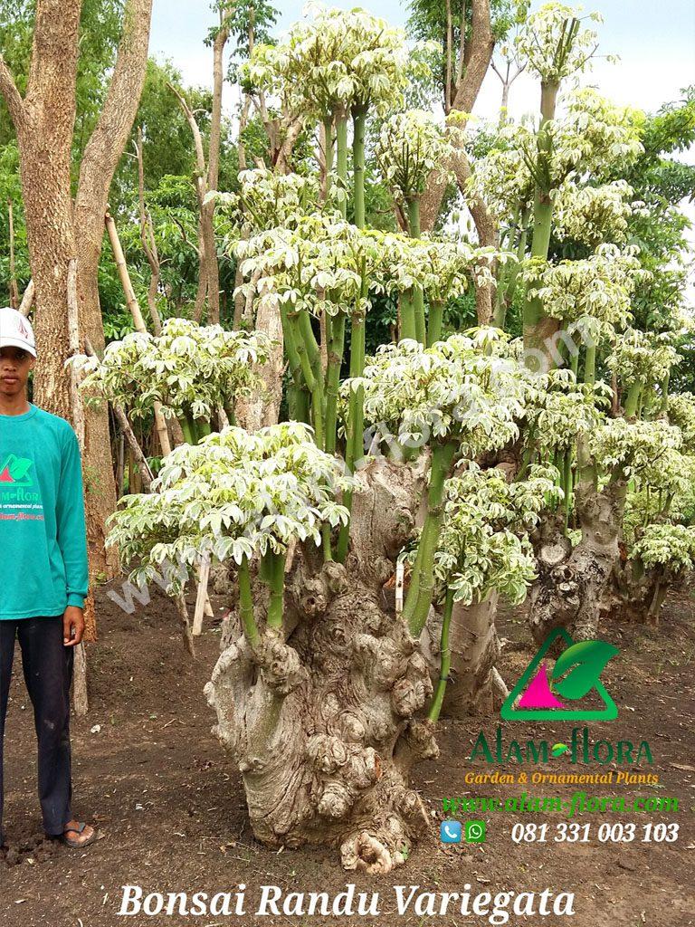 bonsai randu variegata 3