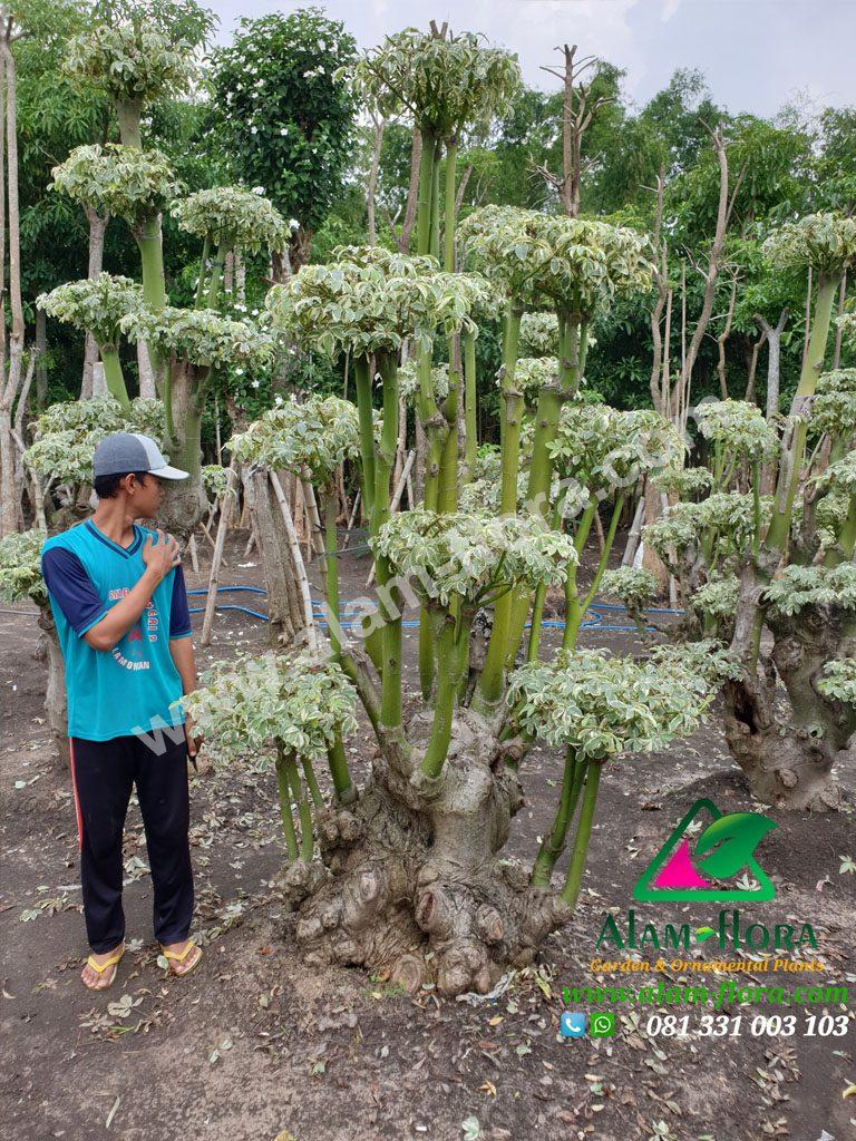 bonsai randu variegata 4