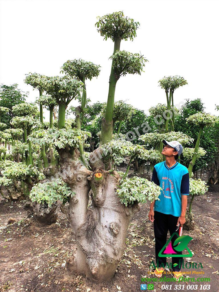 bonsai randu variegata 5