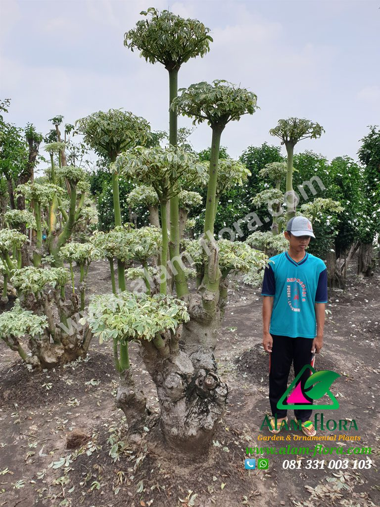 bonsai randu variegata 6