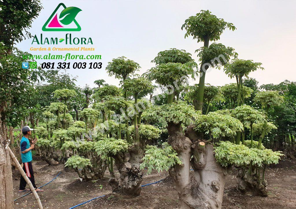 bonsai randu variegata 7