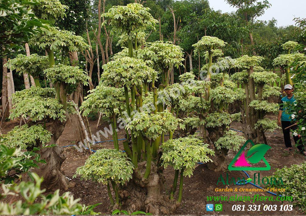 bonsai randu variegata 8