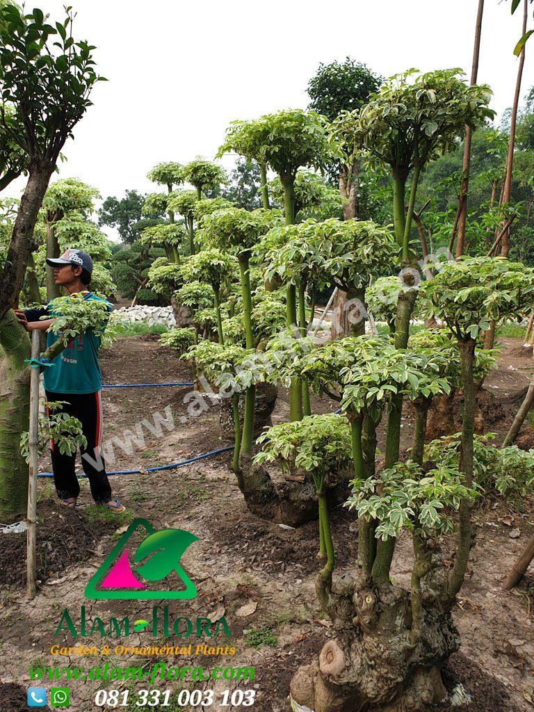bonsai randu variegata 9