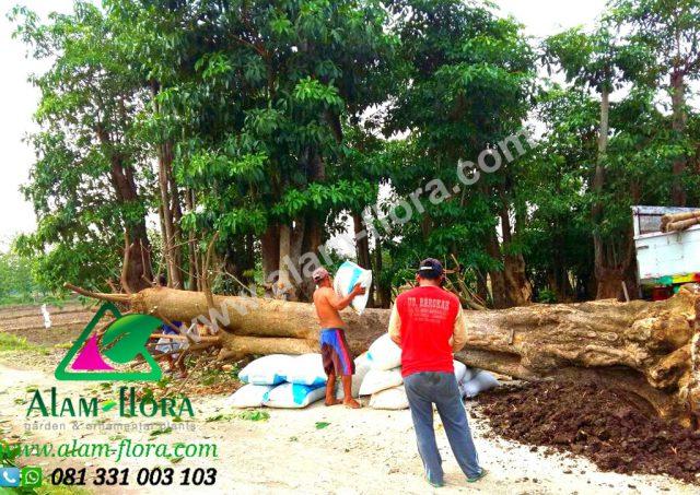 Proses Packing & Penanaman Pohon 5