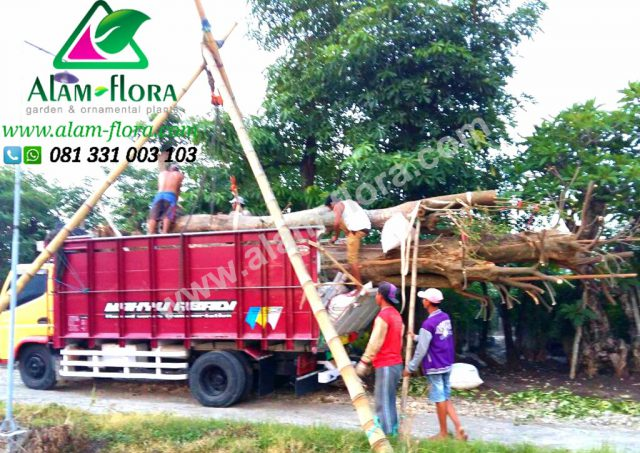 Proses Packing & Penanaman Pohon 6