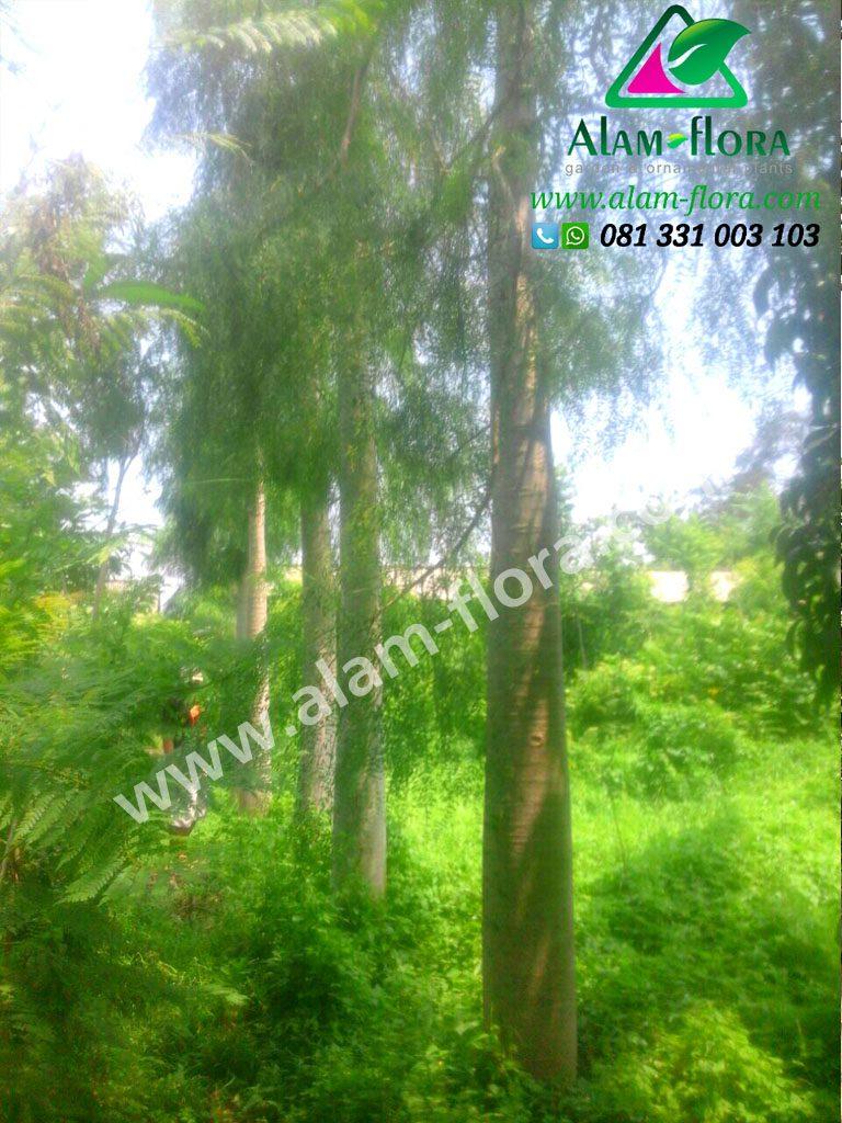 Pohon bonsai Morengga 1