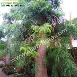 Pohon bonsai Morengga 3