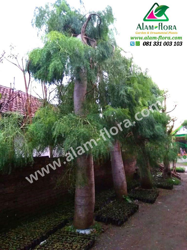 Pohon bonsai Morengga 4