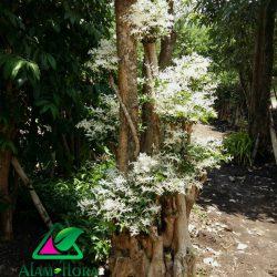 bonsai putri salju 2