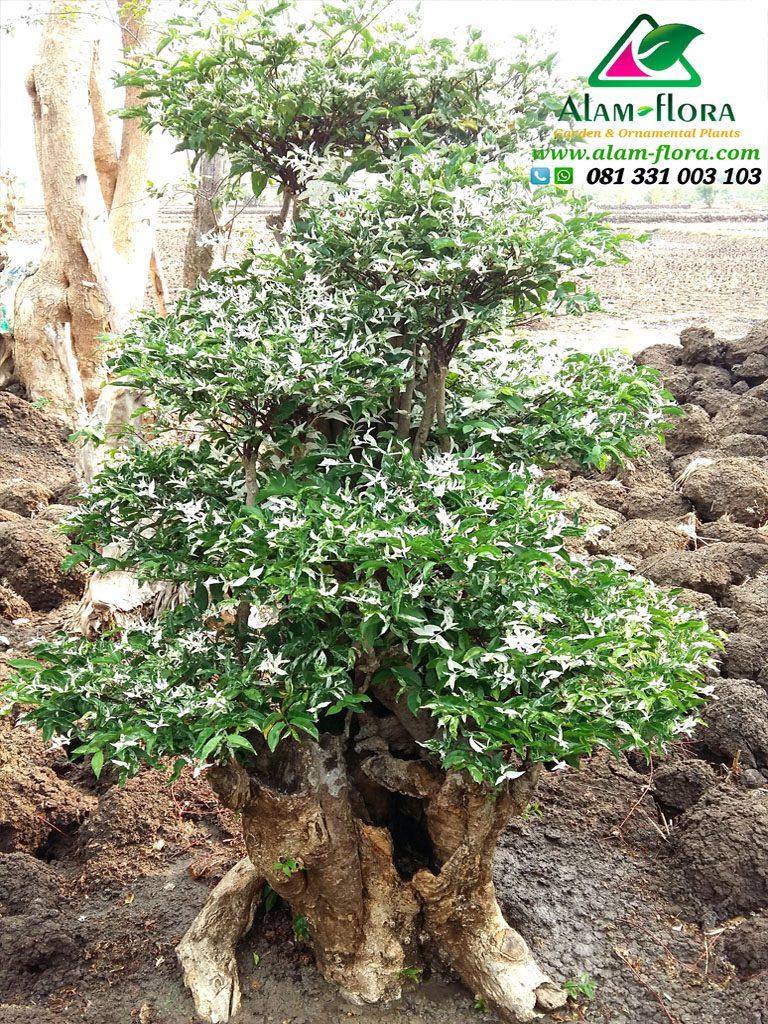 bonsai putri salju 4